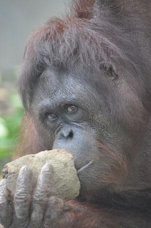 Our orangutan - image 2013-mona-news on https://www.johncolet.nsw.edu.au